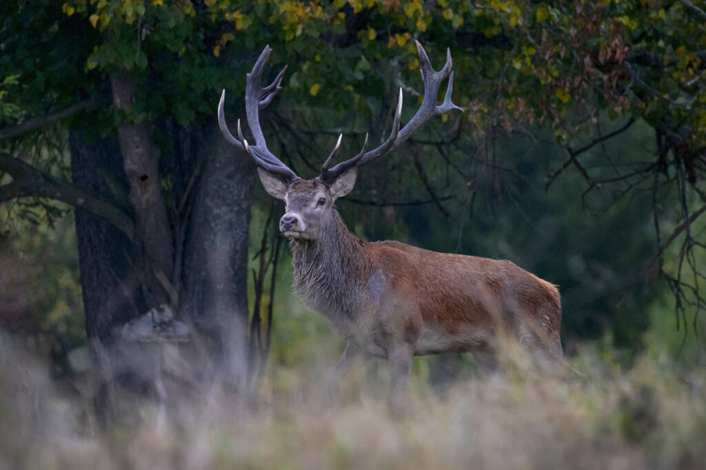 Exmoor National Park, stag